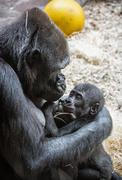 Young Western lowland gorilla - Gorilla gorilla gorilla - mother with cub Stock Photos