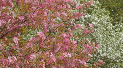 Blooming apple tree with pink blossoms. Forest on background Stock Footage