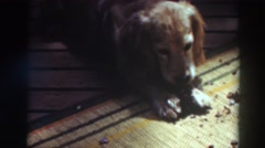 1937: dog chewing on bone treat. VIRGINIA CITY CALIFORNIA Stock Footage