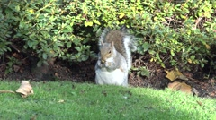 GREY SQUIRREL AT KYOTO GARDEN LONDON Stock Footage