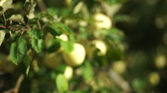 Green apples on the branch Stock Footage