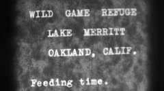 1937: wild game refuge lake merritt oakland, calif. feeding time. OAKLAND, ducks Stock Footage