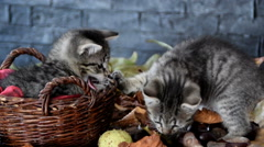 Kittens are sniffing dry leaves Stock Footage