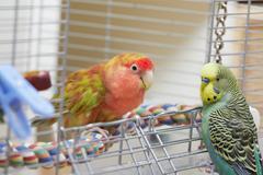 Budgie and lovebird parrots. Kuvituskuvat