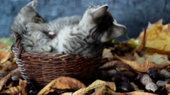 Kittens are playing with each other in a wicker basket Stock Footage