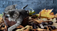 Kittens playing in the leaves Stock Footage