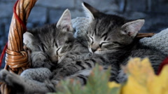 Kittens sleeping in a wicker basket with leaves Stock Footage