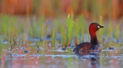Little Grebe. Song. Spring. Breeding plumage. Stock Footage
