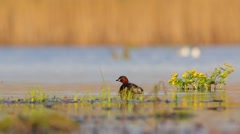 Little Grebe.  Spring. Stock Footage