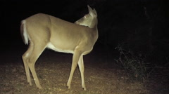 Whitetail Deer Doe at Night Stock Footage
