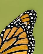 Closeup details of Monarch butterfly wing Stock Photos
