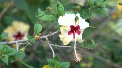 Beautiful Hibiscus White Red Yellow Flower 4K with Bokeh Effect Stock Footage
