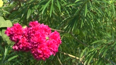 Pink Flowers Big Bunch 4K Video Stock Footage