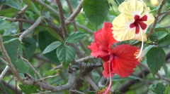 Stunning Hibiscus Flowers 4K Footage with Bokeh Effect Red Yellow White Stock Footage