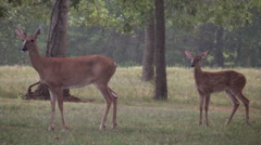 Mother white tail deer with fawn in pouring rain Arkistovideo