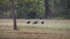 Wild turkeys toms chasing each other in heavy rain Stock Footage
