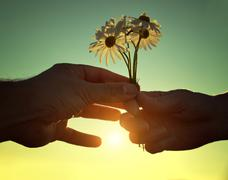 Hand gives a flowers marguerites with love at sunset. Stock Photos