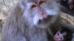 Family of monkeys in the sacred Monkey forest near Ubud. Closeup. Bali Indonesia Stock Footage