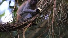 Monkey sitting on lianas and eating bun. Sacred monkey forest near Ubud Stock Footage
