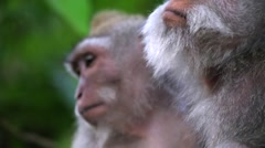 Family of monkeys sitting on an ancient stone statue. Monkey portrait. Stock Footage