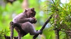 Monkey sitting on a tree and eating bun. monkey forest near Ubud Stock Footage