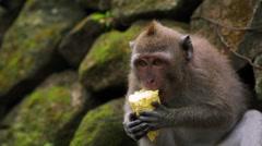 Sitting and eating corncob monkey. Sacred Monkey Forest near Ubud. Closeup. Stock Footage