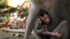 Monkey Family. Baby monkey with mother monkey. Monkey Forest Stock Footage