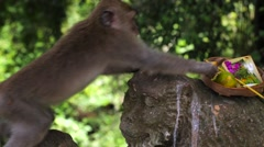 Monkeys eating fruits from the basket of gifts for spirits. Monkey Forest Stock Footage