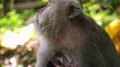Monkey Family. Baby monkey with mother monkey. Monkey Forest near Ubud Stock Footage