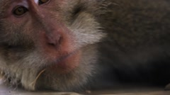 Monkey is lying and yawning. Closeup portrait. Sacred Monkey Forest Stock Footage