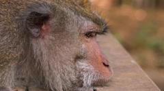 Monkey is looking around. Closeup portrait. Sacred Monkey Forest near Ubud Stock Footage