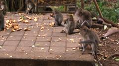 Monkey feeding. Monkeys eating fruits. Sacred Monkey Forest near Ubud. Stock Footage