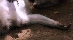 Monkeys checking for fleas. Lying monkey. Sacred Monkey Forest near Ubud. Stock Footage