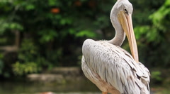 White pelican Clean his Feathers Sitting on Metal Rail Stock Footage