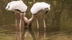 Painted stork Seek for Food in Pond in Park Stock Footage