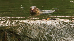 Varanus Swims in Pond by Stony Bank in Park Stock Footage