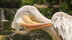 Closeup Pelican Head Cleans Feathers with Bill Stock Footage