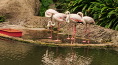 Pink Flamingos Eat Food on Stone Lake Bank from Trough Stock Footage