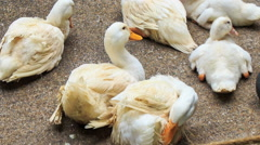 Closeup White Ducks Rest on Stony Surface Stock Footage