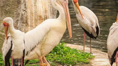 Painted stork Rests among Sandhill Cranes at Pond in Park Stock Footage
