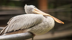Closeup Pelican Sits on Rail Turns Large Orange Bill Stock Footage
