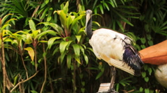 Wood Stork Large Bird Sits on Branch at Green Plants Stock Footage