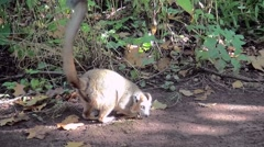 Crown Maki (Eulemur coronatus) looking for food on the ground. Stock Footage