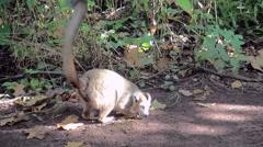 Crown Maki (Eulemur coronatus) looking for food on the ground. Stock Footage