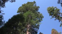 Tilt down giant sequoia tree Stock Footage