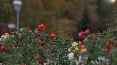 Park with beautiful flower beds of roses. Autumn trees. Russia Belgorod Stock Footage
