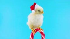 Funny small rooster in red Santa Claus hat on the Christmas candy cane Stock Footage