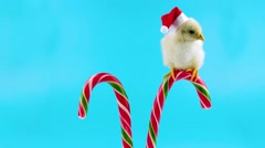 Little rooster in red Santa Claus hat, sitting on the traditional candy cane Stock Footage
