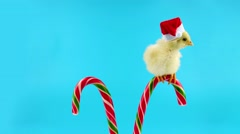 Yellow young rooster, a sweet assistant of Santa Claus, sitting on candy cane Stock Footage