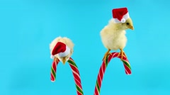 Two adorable little roosters, sweet assistants of Santa Claus Stock Footage